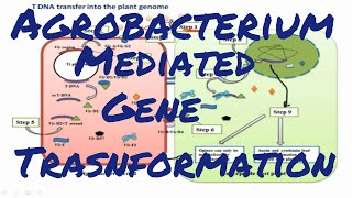 Agrobacterium mediated gene transformation