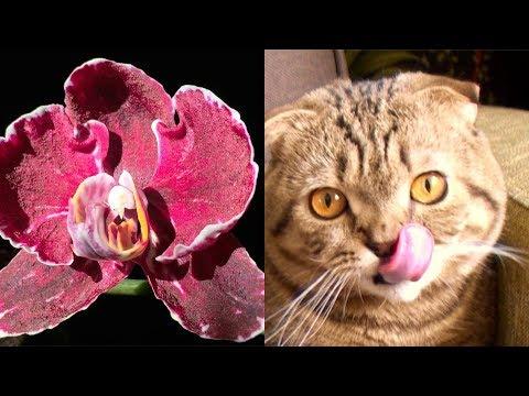 СПОСОБНОСТИ ОРХИДЕИ КАМЕННАЯ РОЗА, как, сколько и чем цветёт орхидея