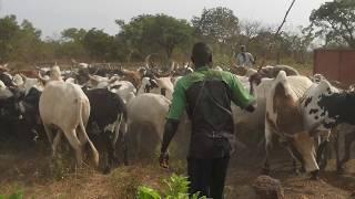 L'embouche, une pratique pour développer l'élevage bovin