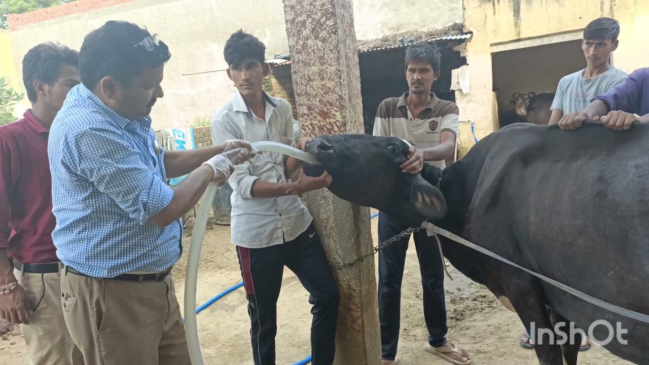 Impaction of rumen in cow l गोबर के बन्द का इलाज। gobar ke band ka ilaj gay bhais me l Dr Umar khan