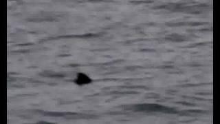 Basking Sharks, Northern Ireland, Summer 2010