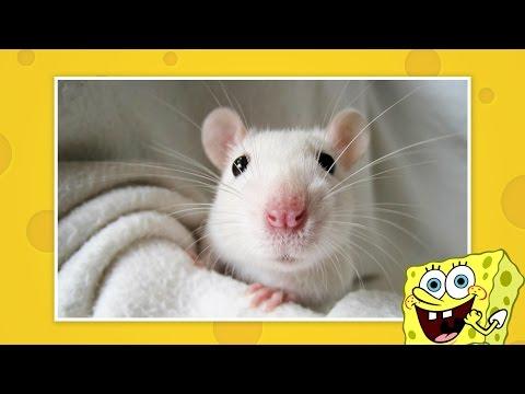 Домашние Крысы исполняют ТРЮКИ! 100% FUN