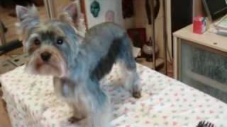 СТРИЖКА ЙОРКШИРСКОГО ТЕРЬЕРА(http://dog-grumer.narod2.ru Обучение стрижке собак. Видео уроки по обучению стрижке собак., 2010-05-11T06:48:09.000Z)