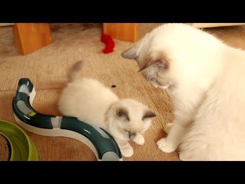 Introducing new Ragdoll kitten Nerina to Merlin - part2
