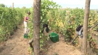 Septembar mesec za berbu grožđa(, 2013-09-25T07:49:35.000Z)