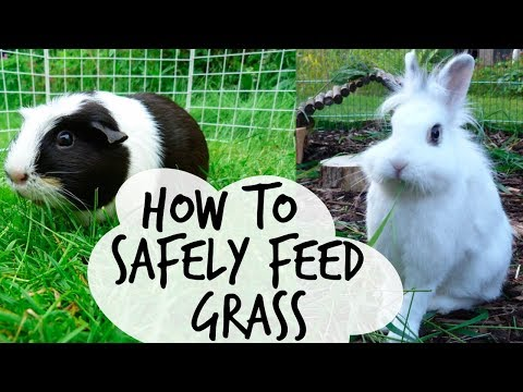 Feeding Grass To Guinea Pigs/Rabbits | QUICK TIPS