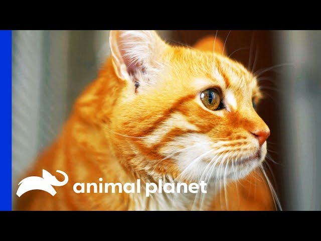 Diabetic Cat's Owner Can't Stop Overfeeding Him | My Cat From Hell