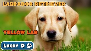 Labrador Retriever - Yellow Lab - Get Grooming / Meet The Breed