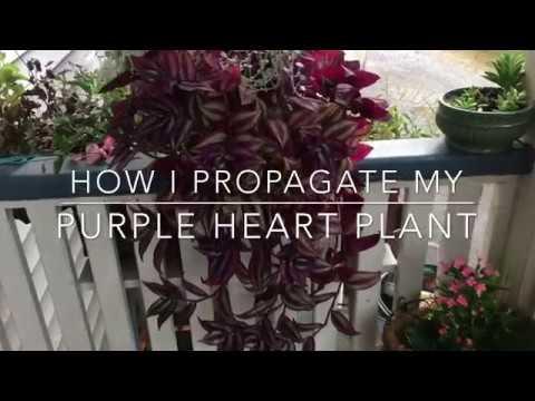 How to Propagate Purple Heart/Purple Queen Wandering Vine