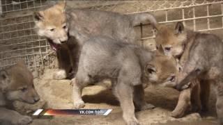 В Большереченском зоопарке волчица показала щенков