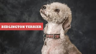 Dogs: Bedlington Terrier Breed Information And Personality