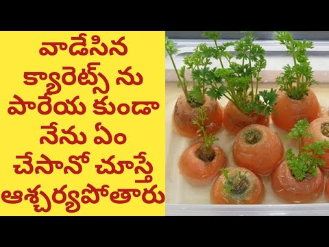 How to grow carrots from carrot tops at home