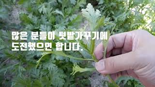 텃밭 쑥갓재배(쑥갓키우기) - 봄, 가을 심는시기에서 …