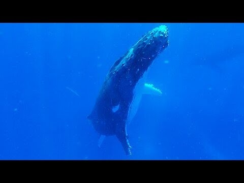 Sleeping humpback whale slowly surfaces beside thrilled swimmers