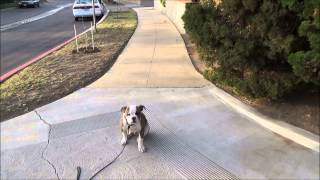 American Bull Dog Max  Potty Training and Basic Comands