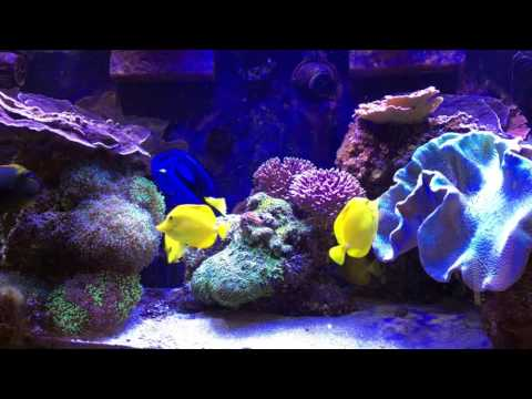 How I Keep Many Tangs In A Relatively Small Tank - AmericanReef ReefKeeping Video