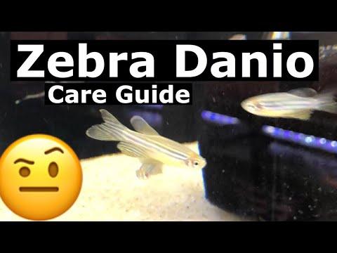 Zebra Danio Care - Temperature & Tank Mates