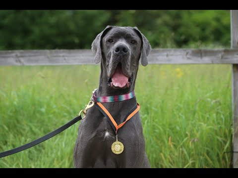 Lottie - Great Dane - 4 Weeks Residential Dog Training