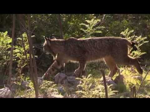 Iberian Lynx, sierra de Andújar. January 2015