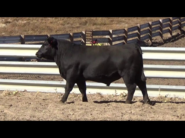 Connealy Angus Lot 70