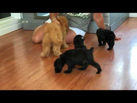 Schnoodle Puppy Visit