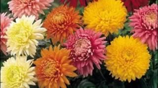 Осенний  танец  ярких  хризантем:  фото