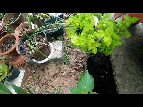 Посадка колеусов в открытый грунт. Мой сад-огород в тропиках.
