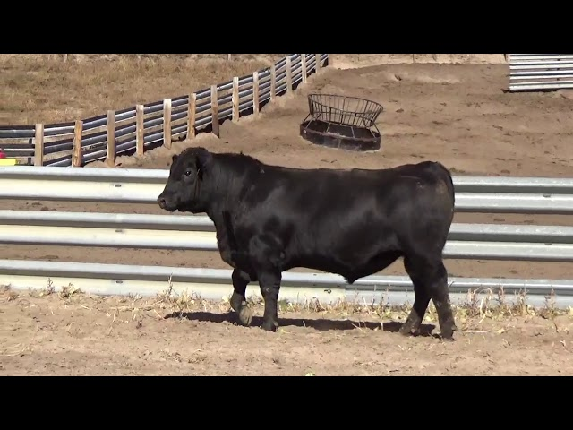 Connealy Angus Lot 39