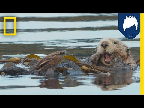 Sea Otters: This Kelp Forest's Best Friend