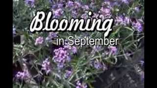 September Blooms- Meadows Farms Landscaping