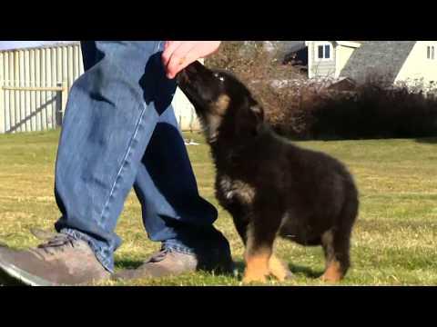 Kraftwerk K9 German Shepherd puppy 10 week old obedience!