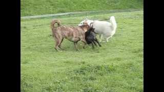 ドッグランで遊ぶ「北海道犬・ソラ」と葉月ちゃん(甲斐犬)、こてつち...