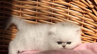 Котенок персидской шиншиллы.