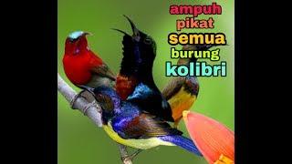 Download Mp3 Suara Pikat Untuk Semua Burung Kolibri,  Ampuh!!