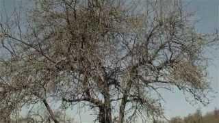 Repeat youtube video Obstbaum richtig schneiden - Obstbaumschnitt, Erhaltungsschnitt (Sanierungsschnitt) alter Obstbäume