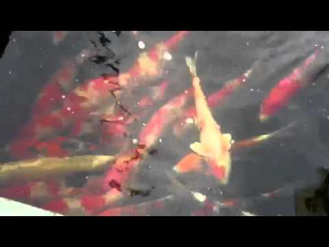 How much does a japanese koi fish cost youtube for How much does a fish cost