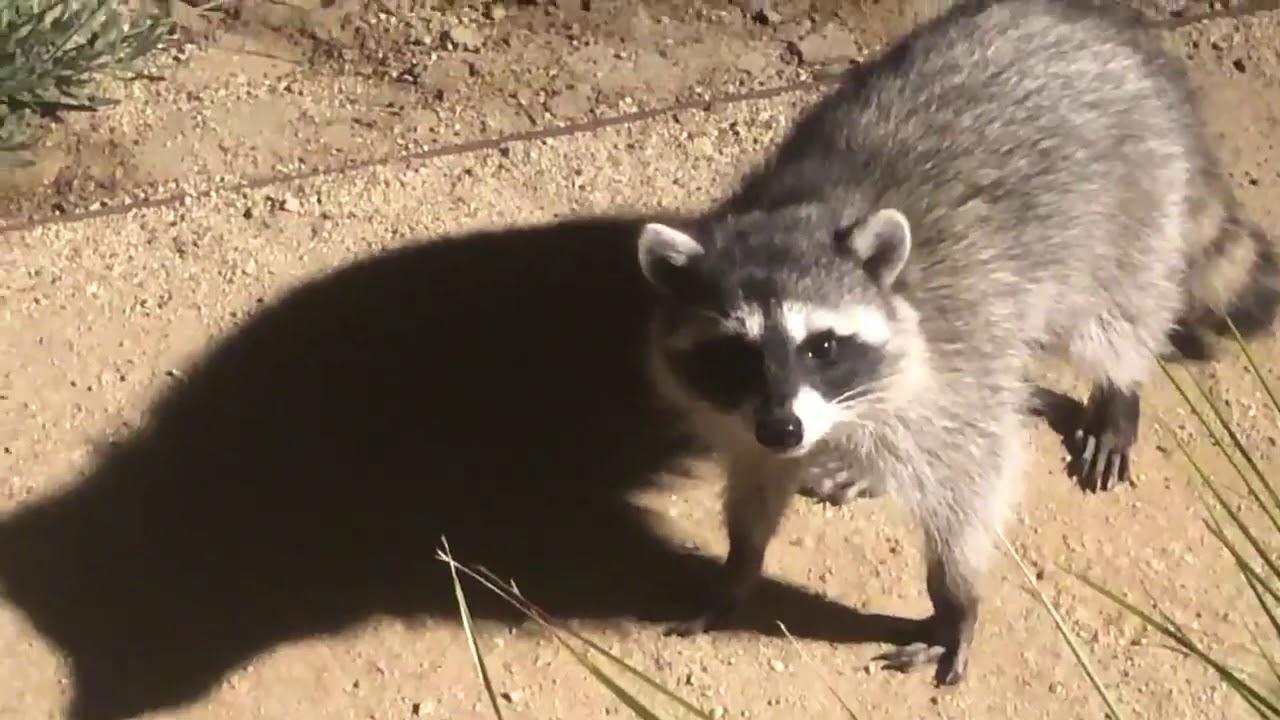 Standing raccoon (yoshi's island meme) - YouTube