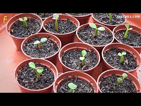 Выращиваем адениум из семян
