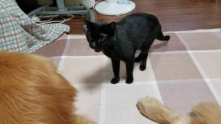 普段から仲良しの黒猫の女の子ベニチャンと、ゴールデンレトリバーの男...