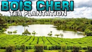 Bois Cheri Tea Factory and Plantation Mauritius 4K