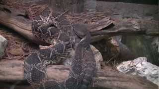 Eastern Diamondback Rattlesnake Central Florida Zoo Sanford