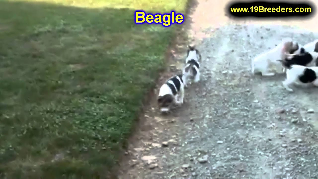 Beagle Puppies For Sale In Billings Montana Mt