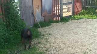 Ротвейлер. Rottweiler