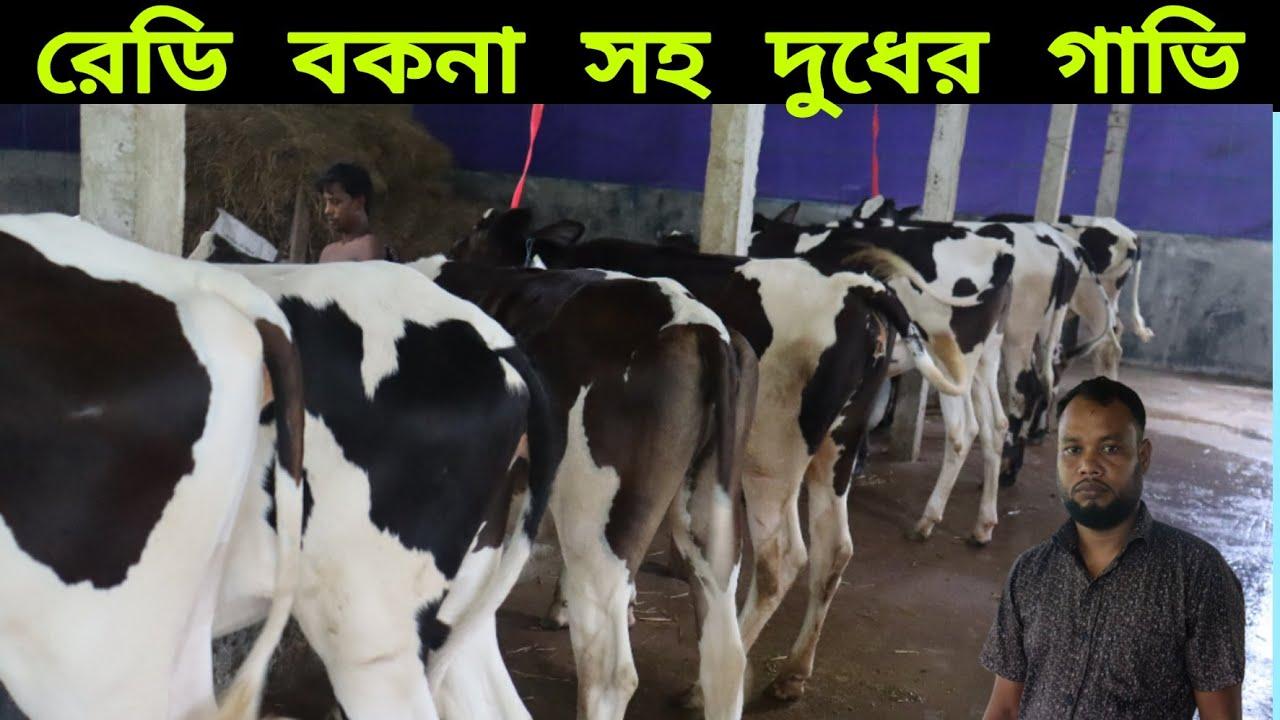 রেডি বকনা সহ দুধের গাভি কিনুন  এবং মাঝারি বকনার দাম জানুন Buy milk cows with ready bakna