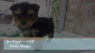DOG Stage ドッグステージ http://www.dog-stage.com/yt_puppy.html ヨ...