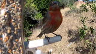 Home Made Bird Feeder Bird Footage - Plastic Bottle Feeder
