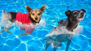 Giving Our Dogs Swimming Lessons For the First Time Without Life Jackets!