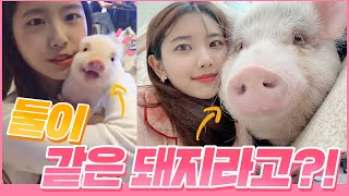 [ENG SUB] Mini pigs have a huge growth rate .. ㅎㄷ-GGULGGUL NYANGNYANG