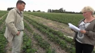 Grupa truskawkowa (cz. II) -- zalecenia na okres owocowania