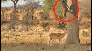 Leopard Jumps on Impala From Tree!